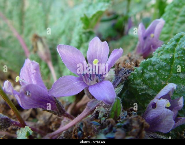 Mandrake - Wikipedia