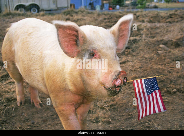 american male pig essay View homework help - all my sons essay from lit 210 at university of phoenix all my sons -- essay miller's chief criticism of american society by: richard younge a.