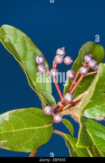 laurustinus viburnum tinus branch with fruits stock image