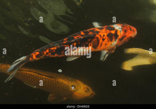 Coy fish stock photos coy fish stock images alamy for Coy carp fish