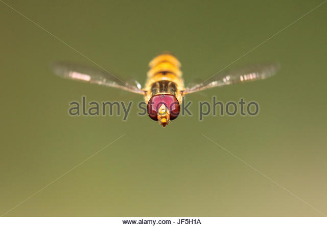 Close up portrait of a hover or syrphid fly with pollen grains on its compound eyes. Records show that their speed - Stock Image
