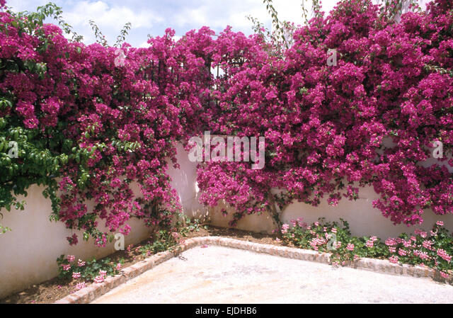 White Wall With Bougainvillea Stock Photos & White Wall ...