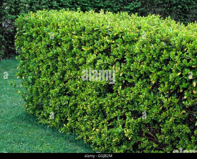 Urban Backyard Golden :   of Ligustrum ovalifolium `Aureum Golden Privet HED049798 Photosh