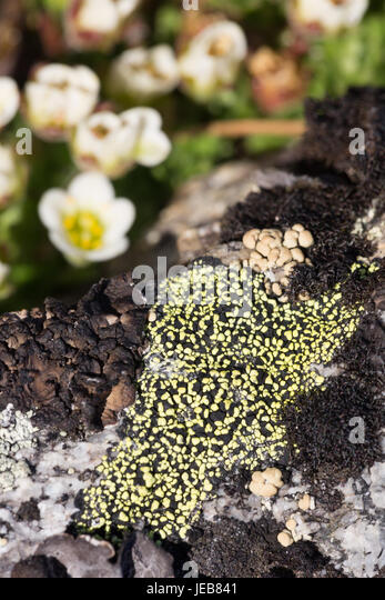 Patches of vivid green on a black lichen on an island near Hamiltonbreen, Spitzbergen - Stock Image