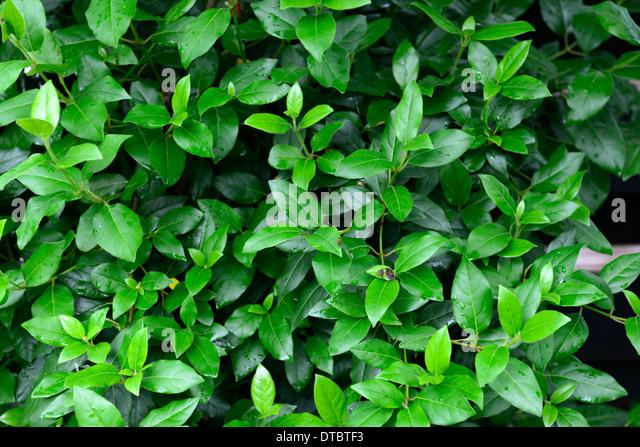 viburnum tinus eve price laurustinus green leaves foliage dense shrub shrubs stock image