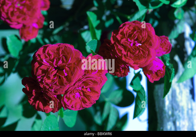 roses garden climbing stock photos roses garden climbing stock images alamy. Black Bedroom Furniture Sets. Home Design Ideas