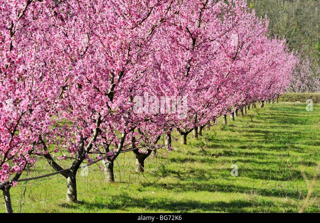 Peach Tree Stock Photos & Peach Tree Stock Images - Alamy Peach Tree Flowers