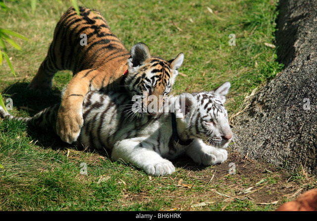 Bengal Tiger Cubs Stock Photos & Bengal Tiger Cubs Stock ...