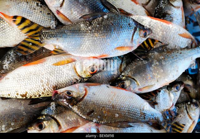 amazon river fish wwwpixsharkcom images galleries