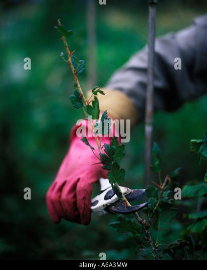 how to take raspberry cuttings