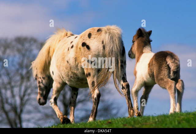 shetland pony mare stock photos shetland pony mare stock images alamy. Black Bedroom Furniture Sets. Home Design Ideas