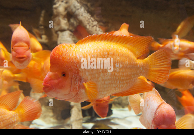Cichlid stock photos cichlid stock images alamy for Red devil fish for sale