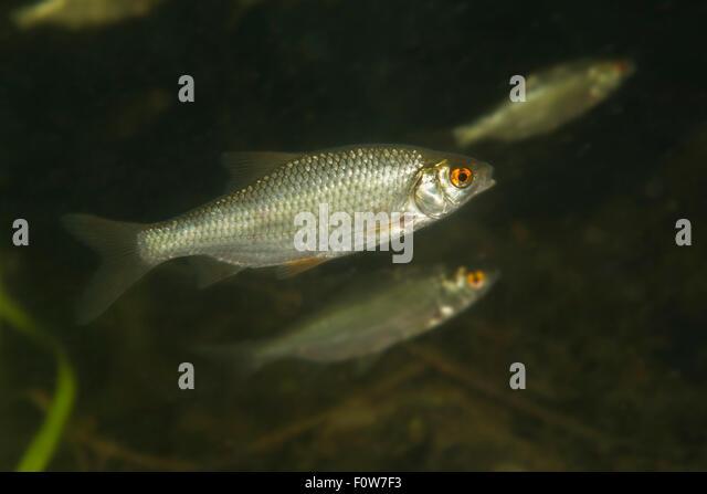 Roach (Rutilus rutilus) Danube Delta, Romania, June. - Stock Image
