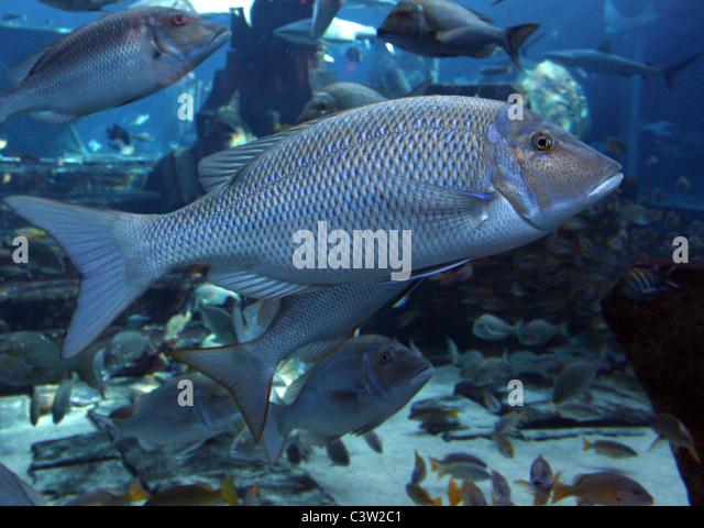 Saltwater fish aquarium stock photos saltwater fish for Large freshwater fish