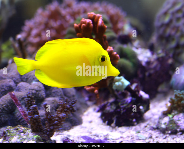 African exotic fish stock photos african exotic fish for Yellow tropical fish
