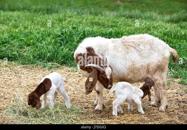 Mother Boer Goat 'Capra aegagrus hircus' with two day old kids,  nursing & feeding on alfalfa,  barnyard, - Stock Image