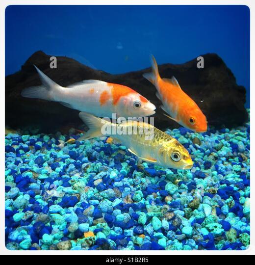 Koi aquarium stock photos koi aquarium stock images alamy for Koi fish near me