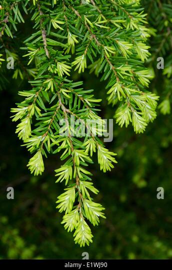 Western Hemlock Tsuga Heterophylla Stock Photos & Western ...
