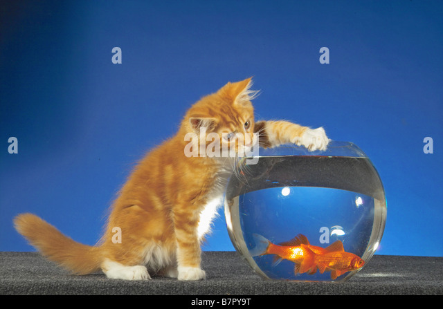 Cats fishbowl stock photos cats fishbowl stock images for Koi pond maine coon cattery