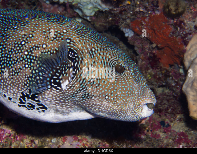 Blue spotted puffer diet meal plans for Puffer fish diet