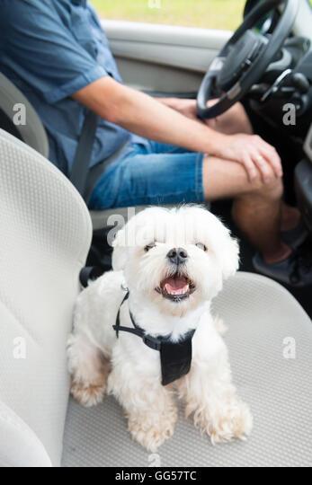 Dog Car Harness Stock Photos Dog Car Harness Stock Images Alamy