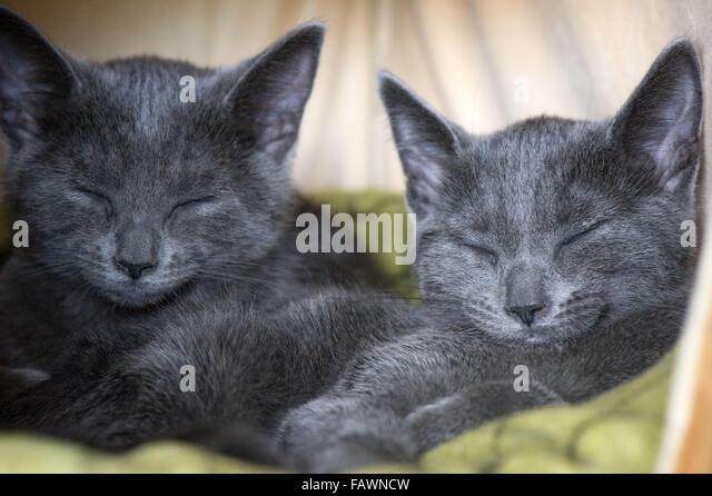 British shorthair kitten michigan