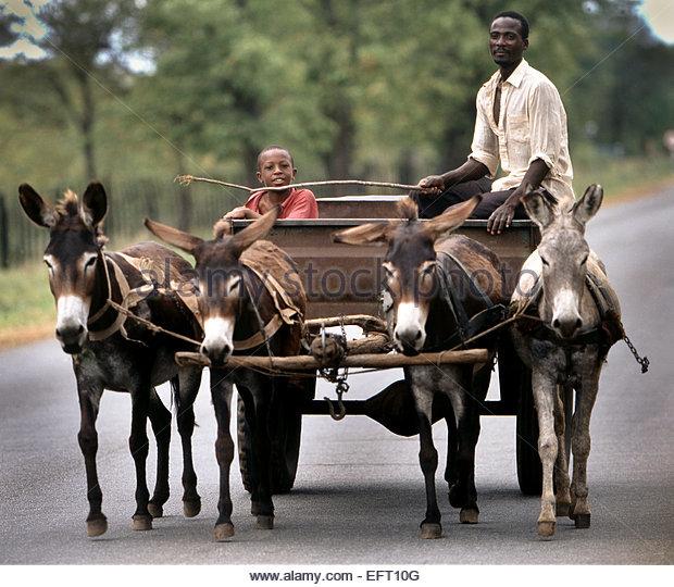 Animals Pulling Wagon : Portrait boy zimbabwe africa stock photos