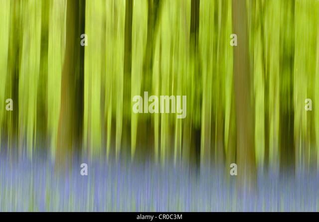 Little Berkhampstead United Kingdom  city images : Photographic impression of bluebell woodland in spring. Ashridge ...