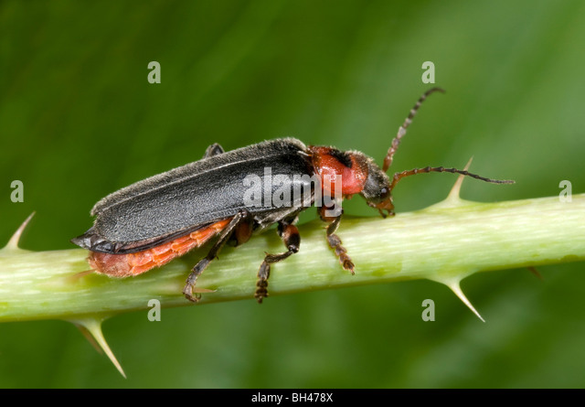 cantharis soldier beetle stock photos amp cantharis soldier
