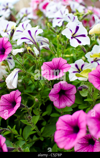 Municipal Hanging Flower Baskets : Hanging baskets england garden stock photos