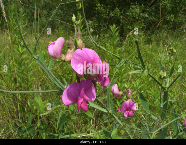 perennial sweet pea stock photos  perennial sweet pea stock, Natural flower