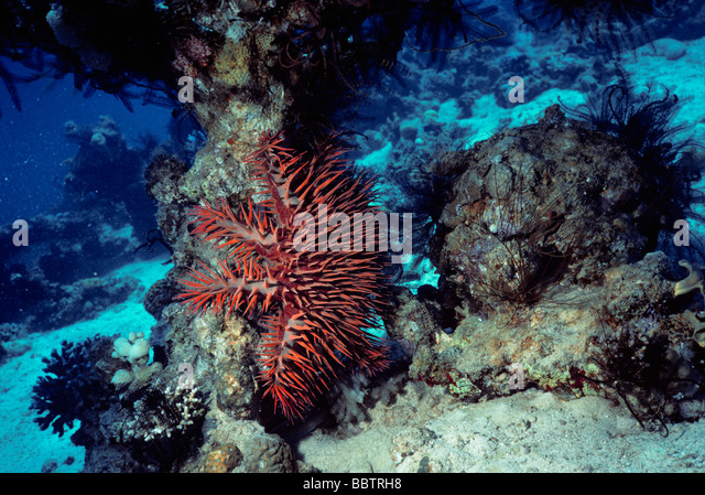 Crown Of Thorns Sea Star Stock Photos & Crown Of Thorns ...