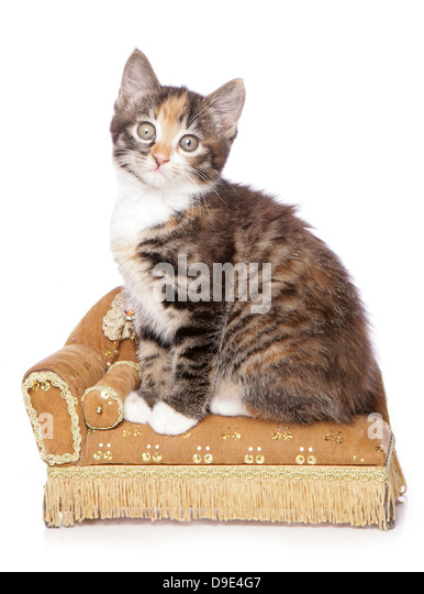 kitten sitting on a chaise lounge - Stock Image  sc 1 st  Alamy : cat chaise lounge - Sectionals, Sofas & Couches