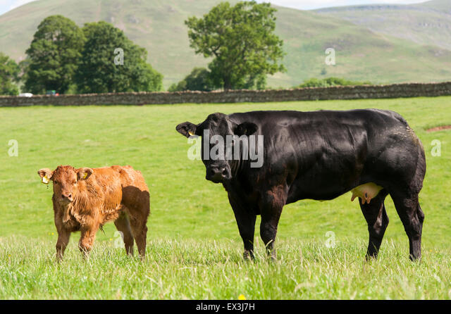 how to raise a beef cow