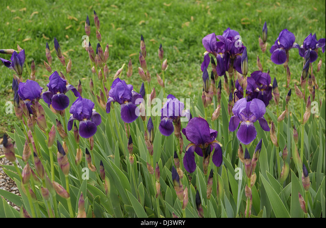 iris germanica stock photos iris germanica stock images alamy. Black Bedroom Furniture Sets. Home Design Ideas