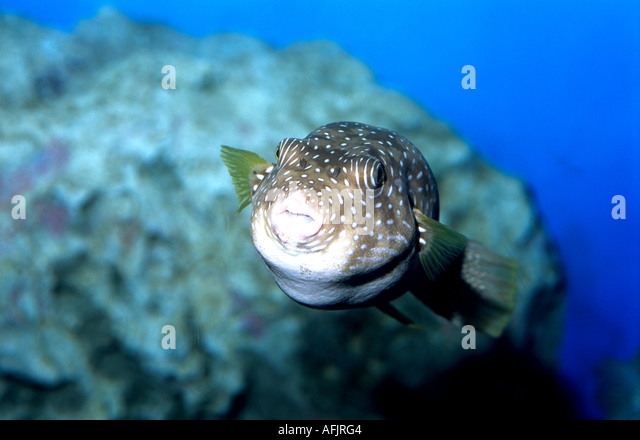 Blue spotted puffer diet meal plans chipstoday for Puffer fish diet