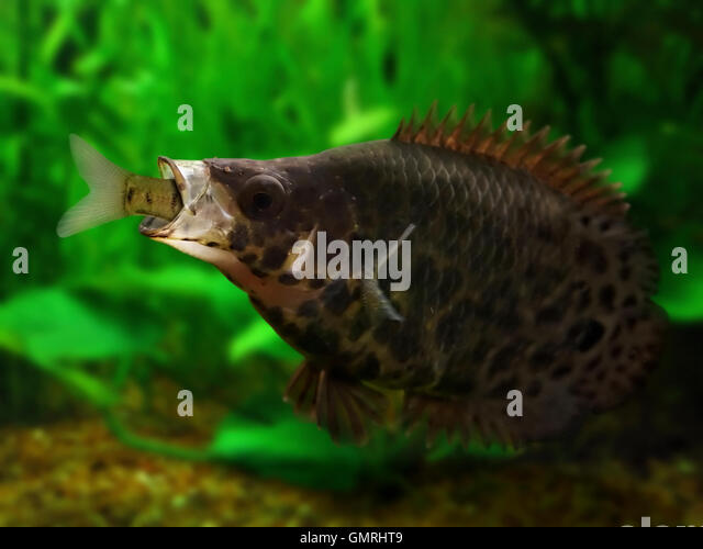 Spotted Climbing Perch Stock Photos & Spotted Climbing Perch Stock ...