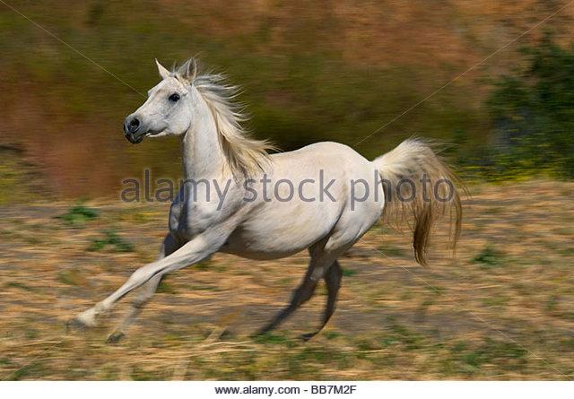 Horses Running California Stock Photos & Horses Running ...