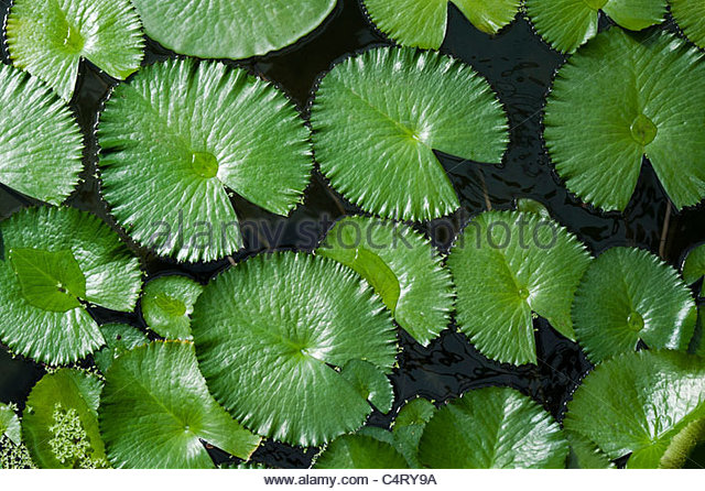 lily pad stock photos amp lily pad stock images alamy