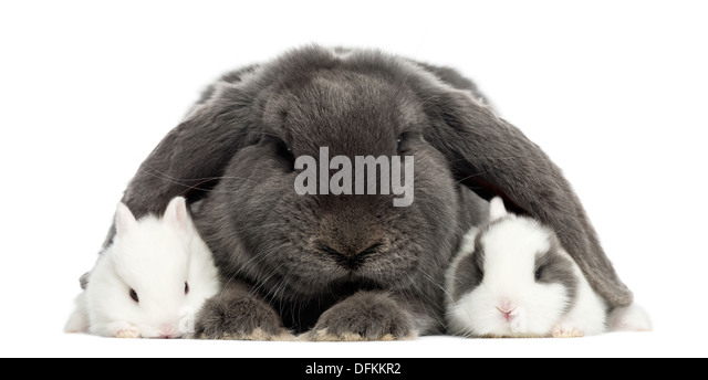 grey floppy eared bunny   imgarcade     online image
