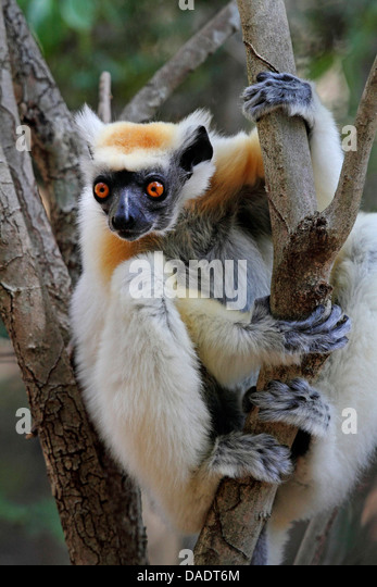 the golden crowned sifaka or tattersall s sifaka It is not acceptable to joke about the silky sifaka be- cause there is much  on  behavior and reproduction in the golden-crowned sifaka  tattersall, i 1982.