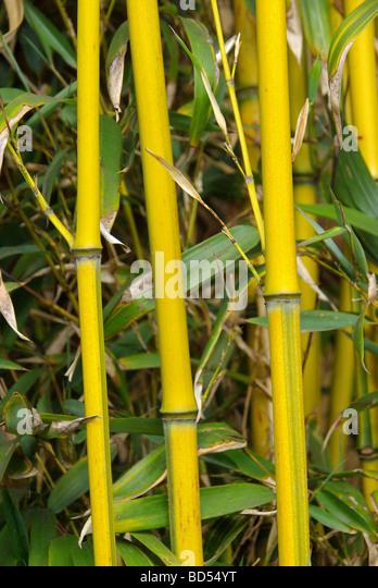 bambus bambuseae blatt rohr gras schilf halm pflanze stock. Black Bedroom Furniture Sets. Home Design Ideas