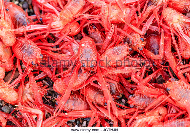A close up of red pelagic crabs. - Stock Image