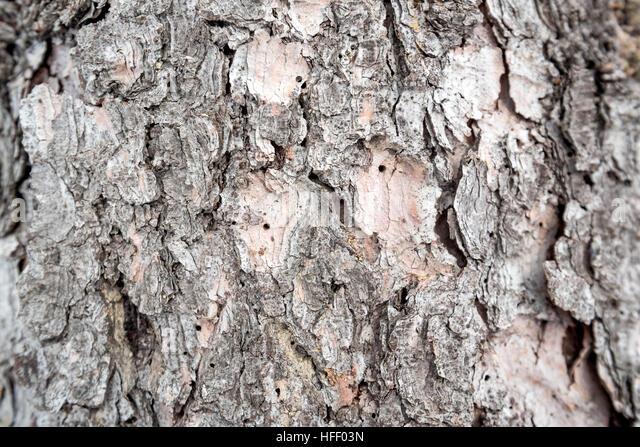 Spruce bark texture