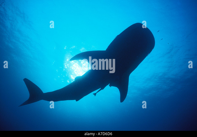 Whale Shark Silhouette Stock Photos  Whale Shark Silhouette Stock