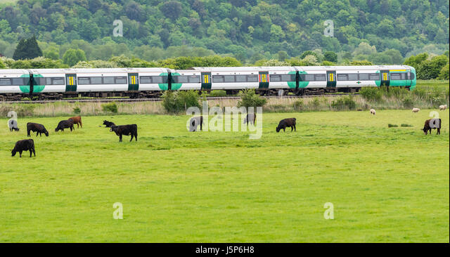 Travelling by train in the countryside. Southern Rail train speeding along the railway by a cows field in Arundel, - Stock Image