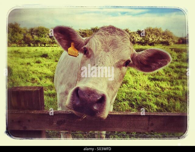 Cow Looking Over Fence Stock Photos Amp Cow Looking Over