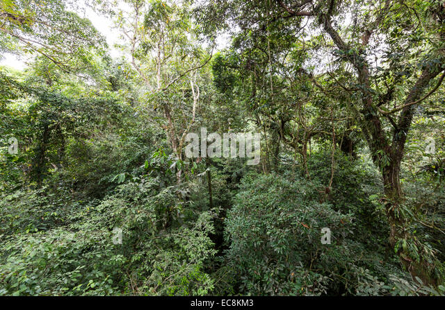 Upper part of rainforest canopy with epiphytes Gunung Mulu National Park Malaysia - Stock & Upper Canopy Stock Photos u0026 Upper Canopy Stock Images - Alamy