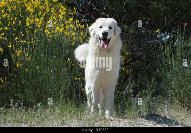 Hirtenhund Stock Photo...