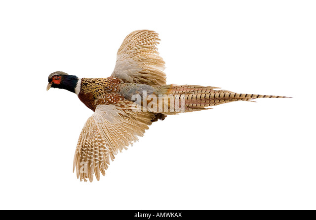 Ringneck Pheasant Stock Photos & Ringneck Pheasant Stock Images ...English Setter Iowa